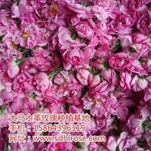 山东省莱芜市大马士革玫瑰小苗批发价格
