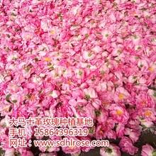 山东省莱芜市大马士革玫瑰小苗种植基地
