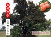 点点乐商城山西柿子野生柿子野生百年老树柿子肉嫩多汁色泽艳丽