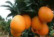 点点乐商城纽荷尔脐橙小果60--65果径五斤装皮薄多汁原汁原味