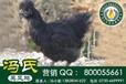 冯氏绿壳鸡,绿壳鸡种蛋受精蛋,绿壳鸡鸡蛋,一月脱温绿壳鸡鸡苗,两月脱温绿壳鸡