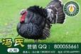 冯氏火鸡苗,火鸡种蛋受精蛋,火鸡鸡蛋,