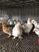 冯氏元宝鸡苗,元宝鸡种蛋受精蛋,元宝鸡蛋,一月脱温元宝鸡苗,