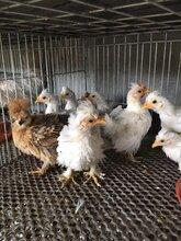 冯氏元宝鸡苗,元宝鸡种蛋受精蛋,元宝鸡蛋,一月脱温元宝鸡苗,图片