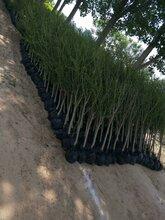 绿化1-7公分石榴树速生白蜡