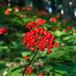 高麗參種子朝鮮參種子別直參種子紅參種子