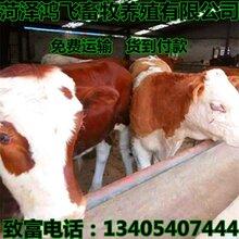 买小牛犊子管多少钱一斤小牛犊多少钱一斤批发山东肉牛养殖场图片