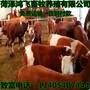 贵州遵义黄牛养殖基地肉牛犊图片