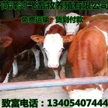 一头南方黄牛价格西门塔尔种牛图片