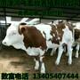 黑龙江绥化西门塔尔牛肉牛犊养殖基地图片