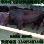 湖北黄石利木赞牛养殖场肉牛养殖图片