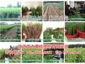 秋彤桃亩产多少斤成品国庆脆红桃苗图片