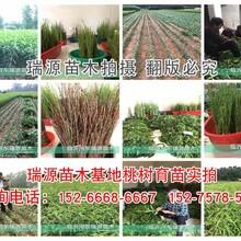 冬桃的品种有哪些品种_冬桃的品种有哪些品种介绍图片