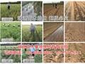 紫叶冬桃苗价格便宜√山东晚熟桃品种有哪些品种图片