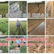 湖南16黄桃树苗品种_湖南16黄桃树苗品种介绍图片