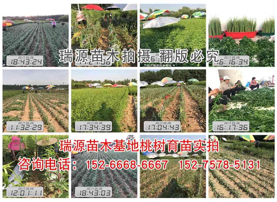 冬桃主要品种价格好晚熟桃树品种简介种植基地