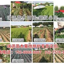 油潘5桃品种介绍√品种介绍惠州新闻网图片