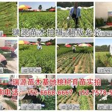 巨型冬桃苗品种_巨型冬桃苗品种介绍图片