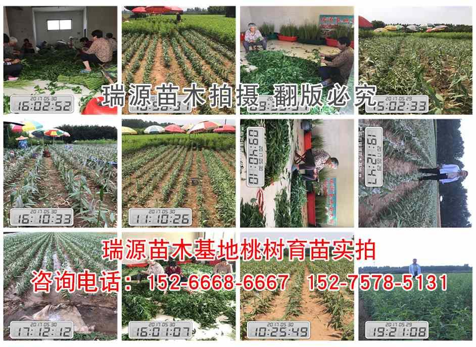 哪里有卖冬桃树苗(新品种桃苗)哪里有卖冬桃树苗什么品种好