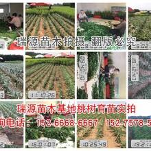 山东晚熟桃树最新品种(新品种桃苗)山东晚熟桃树最新品种哪个品种好图片