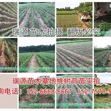 21世纪桃晚熟价格好雪红蜜桃树新品种简介图片