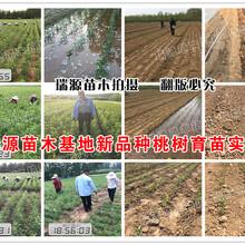 湖南锦绣黄桃苗黄蜜品种的桃树冷需量是多少图片