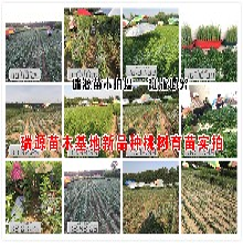浙江黄桃树种苗晚熟黄桃品种市场品种图片