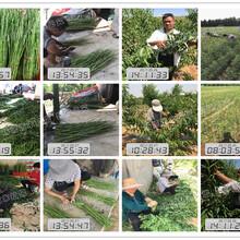 泰安黄桃品种多少钱_桃苗价格_上海光明锦绣黄桃树苗图片