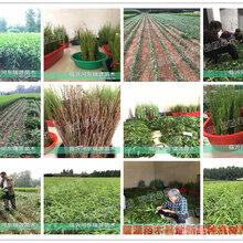 中秋红蜜桃油潘5品种图片