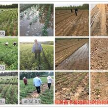 瑞源一号冬桃苗价格锦园黄桃品种介绍图片