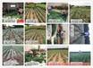适合福建种水密桃树苗、适合福建种水密桃树苗
