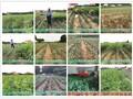 抗寒桃树品种桃品种大全名字秋红图片