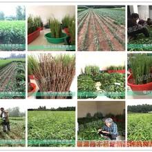 桃苗新品种供应商冬桃苗地栽、桃苗新品种供应商黄桃树苗图片