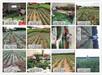青岛桃树苗新品种最新蟠桃树品种