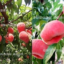 贵阳黄桃早熟品种_贵阳优质品种价格