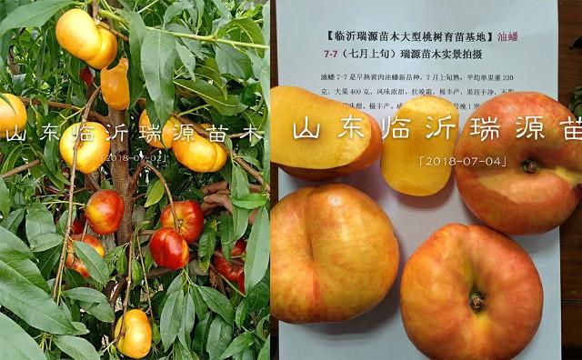 中蟠11桃、油蟠桃苗、桃树苗价格