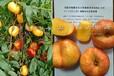 黄桃那个品种果更硬_桃树苗批发