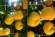丹东引进黄桃新品种_台湾桃的品种