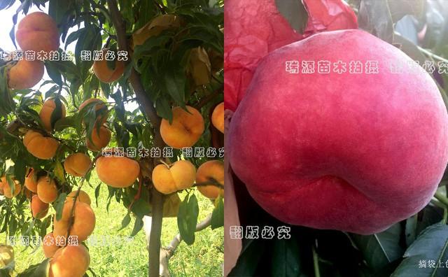 中蟠17桃成熟时间、蟠桃树苗基地、桃树苗基地