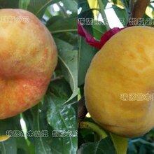 平顶山寻品质最好的黄桃品种_平顶山图片介绍