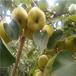两万斤皇冠梨销售一空安徽砀山果农感恩长沙温暖