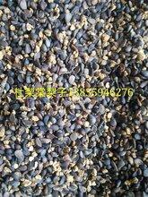 新杜梨子价格//杜梨子~杜梨种子~梨树种子?70元产地包邮图片