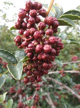 1年花椒苗品種1米花椒苗0.5公分花椒苗大紅袍花椒苗價格