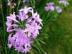 基地供應各種綠化苗木紫嬌花