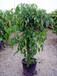 園林苗木采購率高的綠寶