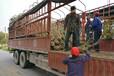當年結果桑葚樹,當年結果桑葚苗哪里買,批發帶土球果桑苗大樹樁價格優惠