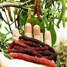 台湾长果桑,果子超长味道超甜的桑葚品种图片