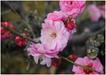 莱州市宏顺梅花种植科技有限公司