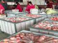 山东红富士苹果大量出售山东苹果行情图片