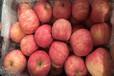 山东红富士苹果批发基地-山东嘎啦批发,山东美八苹果